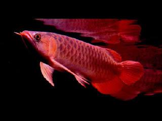 ikan-arwana-super-red.jpg