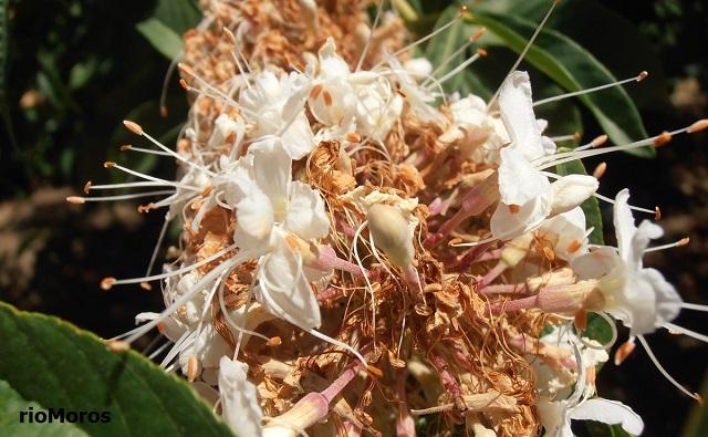 FALSO CASTAÑO DE CALIFORNIA en flor Aesculus californica
