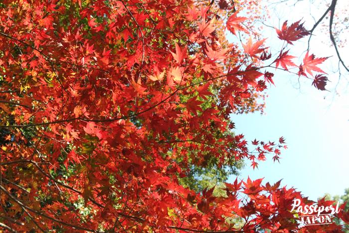 momiji rouge flamboyant, Kunenan de Kanzaki, Saga
