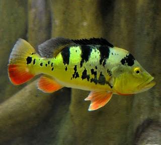 Ikan Pbass Mono