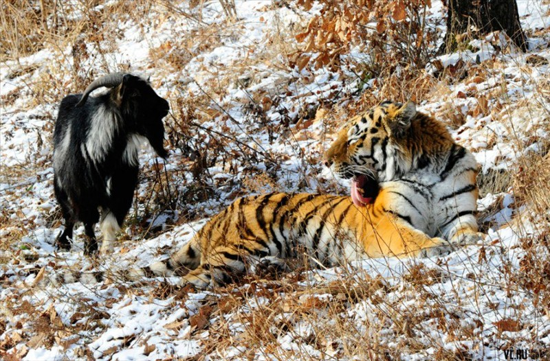 friendship between a tiger and a goat