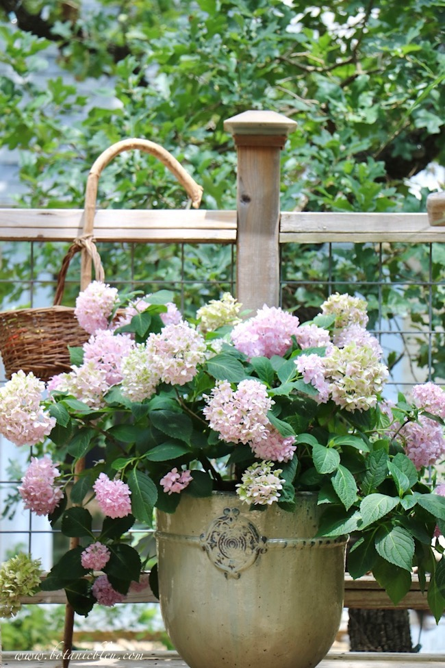 Nantucket Blue hydrangeas bloomed pink on the first blooms this year