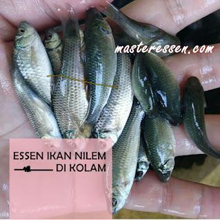 Essen Ikan Nilem Khusus Di Kolam