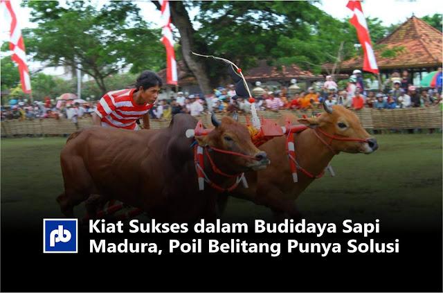 Kiat Sukses dalam Budidaya Sapi Madura, Poil Belitang Punya Solusi