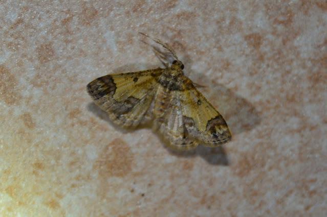 Zamarada metriocaphes