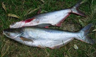 Umpan-Ikan-Patin-Kolam-Malam-Hari