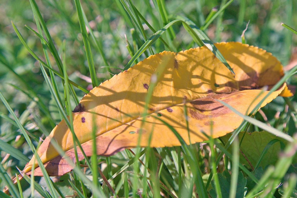 Herbstliches Pfirsichblatt