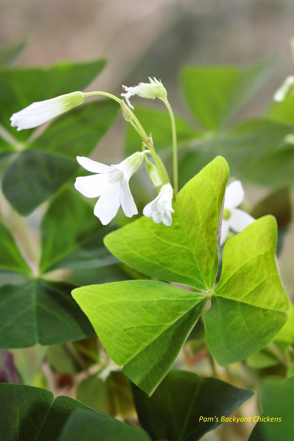 Pam's Backyard Chickens: How To Care For A Shamrock Plant
