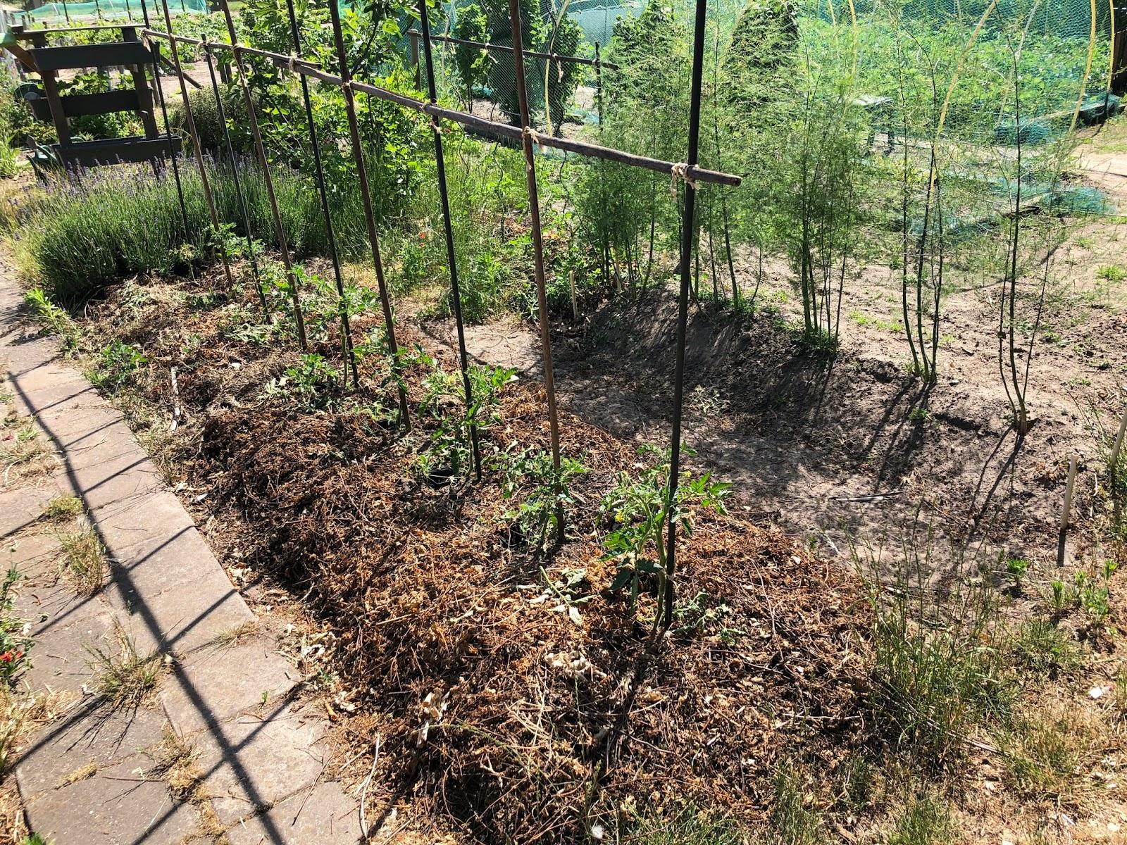 droogte 2020 moestuin volkstuin tomaten