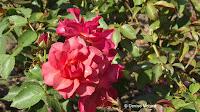 Cinco de Mayo floribunda rose, Pardee Rose Garden - East Rock Park, New Haven, CT