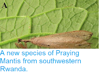 http://sciencythoughts.blogspot.co.uk/2014/05/a-new-species-of-praying-mantis-from.html