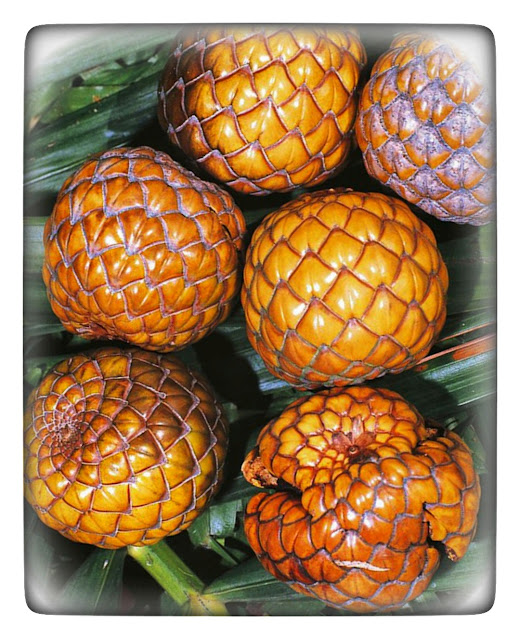 The fruit inside is brownish white, has seeds, and tastes very brown. Everything in the sago tree can be used by humans, from the leaves, flowers, fruit, tree trunks, to the roots.