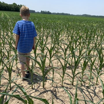 Tenga cuidado con los nitratos al alimentar maíz seco y sorgo