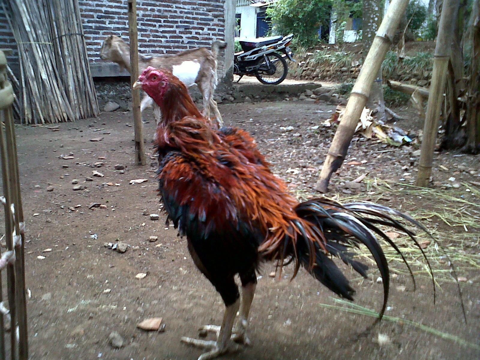 Koleksi Ayam Bangkok Siap Tarung Lainnya