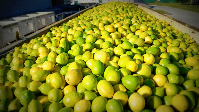 La Argentina vuelve a exportar limones a Japón