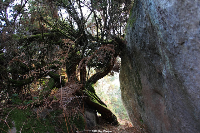Genévrier commun (Juniperus communis L.), Cuvier, Fontainebleau,