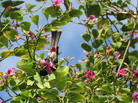 Red-vented Bulbul upside down in St. Thomas Orchid tree – Fort DeRussy Park, Oahu – © Denise Motard