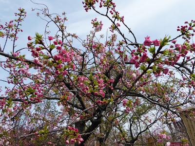 大阪造幣局 桜の通り抜け 松月