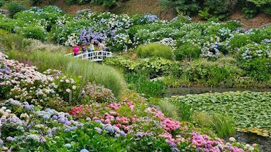 Hortensias en Trebah Garden (Hydrangea Valley)