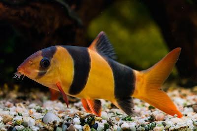 Ciri Ciri Fisik Ikan Botia