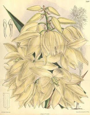 Yucca elephantipes - botanical image