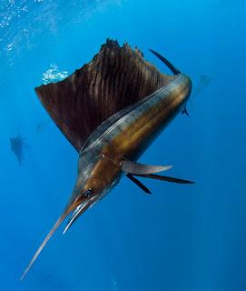 Mengenal Ikan Layaran Atau Sailfish, Ikan Tercepat di Lautan
