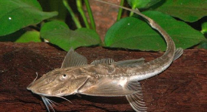 Jammu Fish