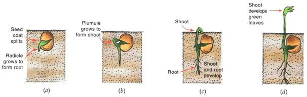 SRF8 - पुष्पीय पौधों में लैंगिक प्रजनन