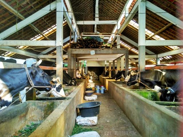 Peternakan Sapi Pujon Kidul Malang