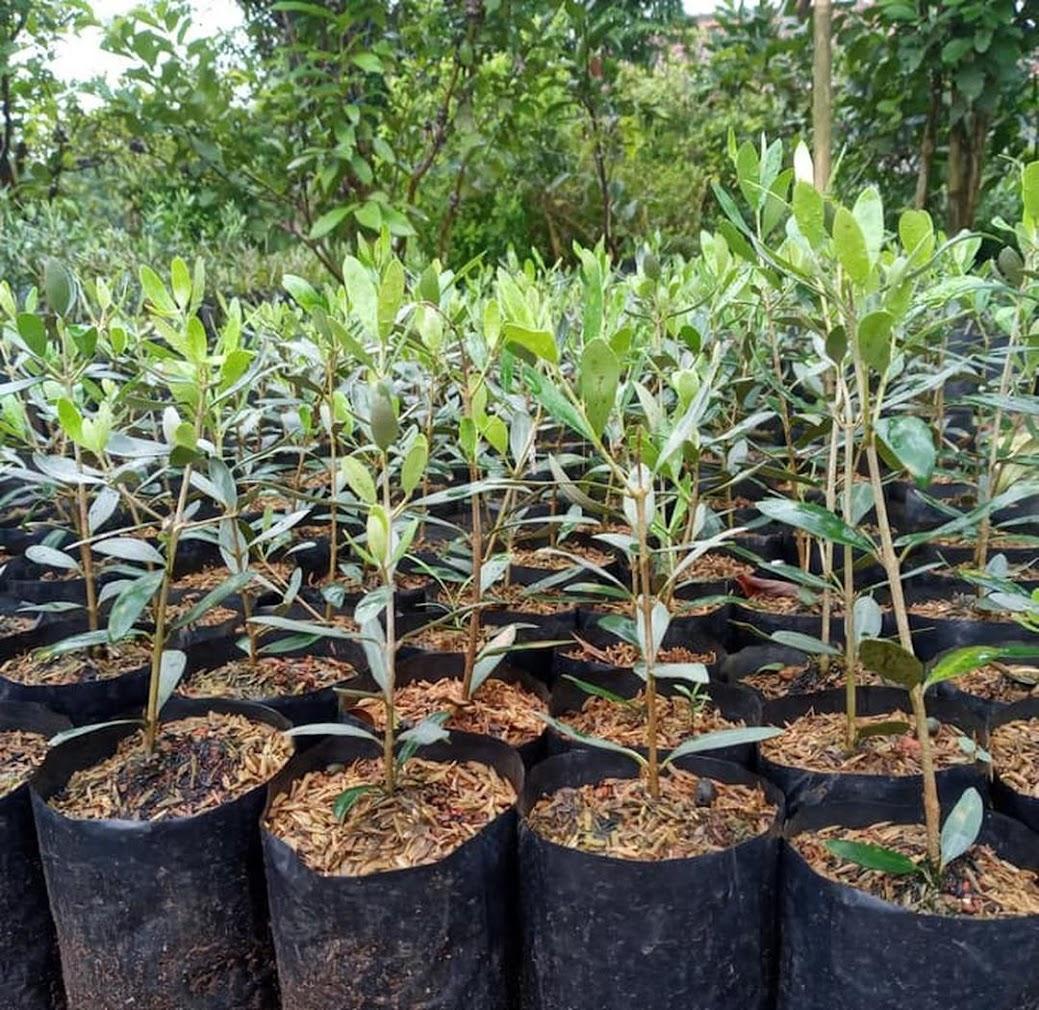Bibit Buah Zaitun Kalimantan Timur