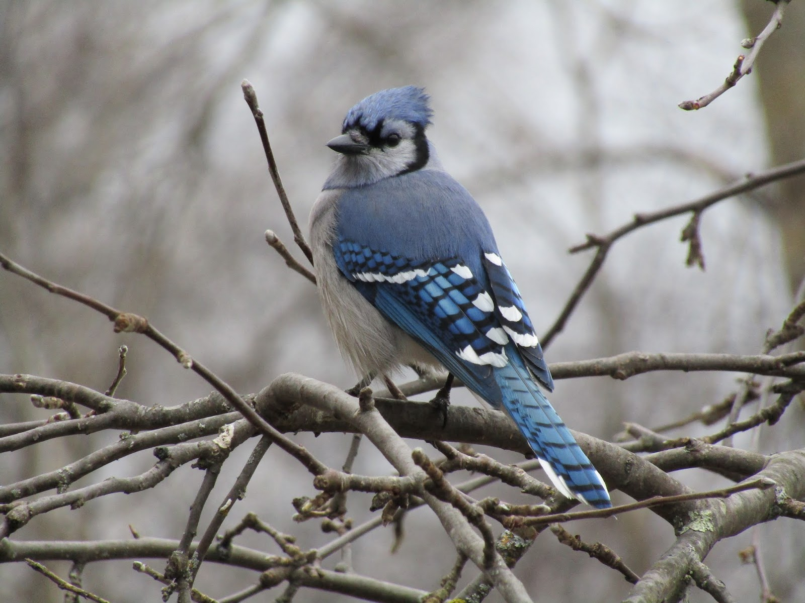 One such awesome character creation is The Blue Jay