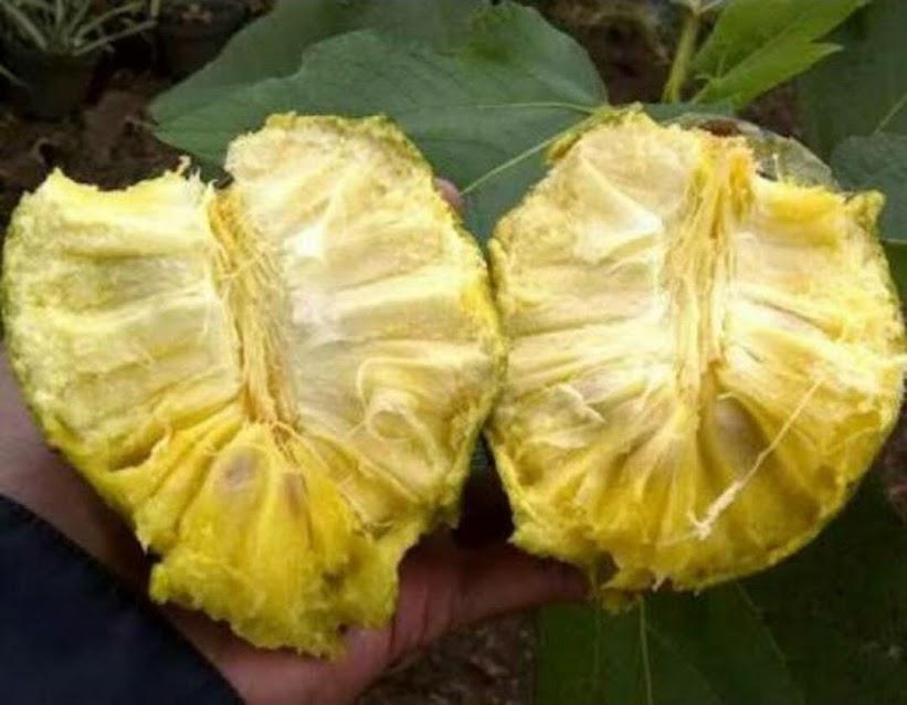 bibit tanaman buah sirsak kuning Padangpanjang