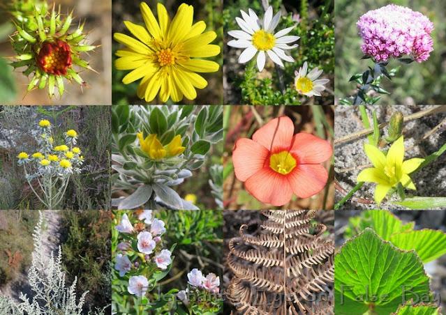 Kalk Bay Mule Track August flowers