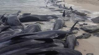 QUE ESTÁ PASANDO: han muerto 80 ballenas en 21 días en Islandia.