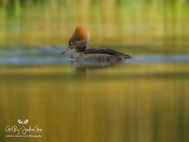 Autumn Reflections Hooded Merganser & Scaup 8 Photos