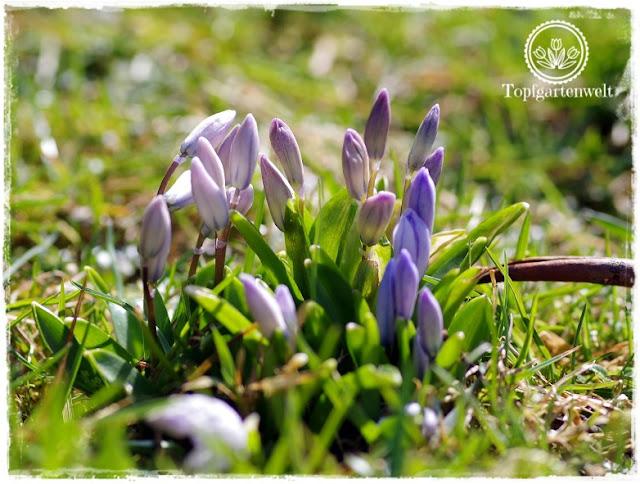 Gartenblog Topfgartenwelt Topfgarten + DIY mit Knagglig (Kiste) und Töpfen viel Platz auf kleinem Raum schaffen - Blumendeko mit Hornveilchen und Bellis passend für den Frühling und Ostern: Blausternchen kurz vor dem Aufblühen