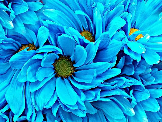 niebieska margerytka