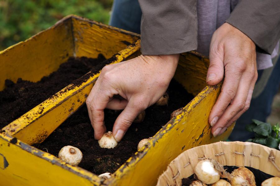 plantando bulbos de muscari