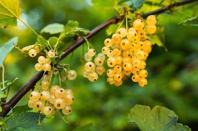 buah gooseberry, manfaat buah gooseberry