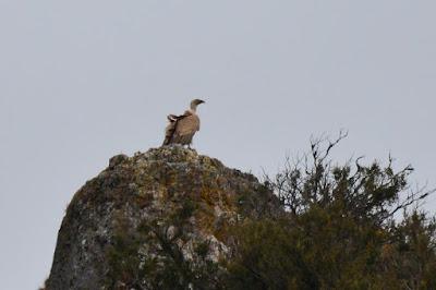 Gyps fulvus - vautour fauve