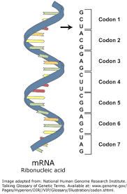 Dosis Gen dan Amplifikasi Gen
