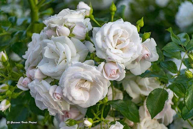 Rosales de Vigeland Park - Oslo por El Guisante Verde Project