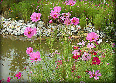 Gardening in Africa: Cosmos flowers in South Africa