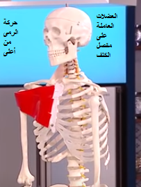 العضلات العاملة على مفصل الكتف تشريح مفصل الكتف