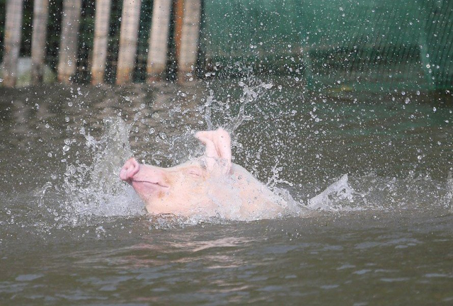 Chinese Farmer Lets His Pigs Dive Into The Water So They Can Remain Fit And Will Taste Better!