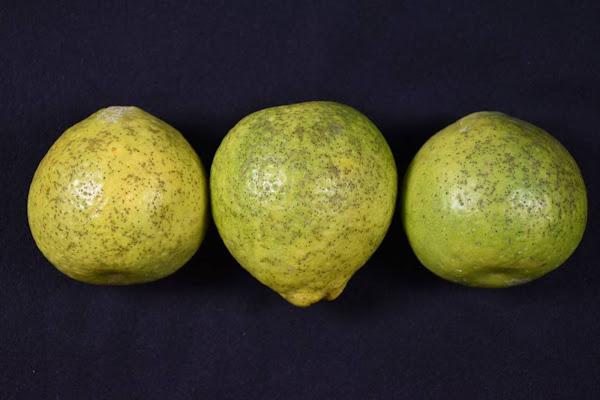 中部地區柑桔園出現病徵 台中農改場籲慎防柑桔病害蔓延