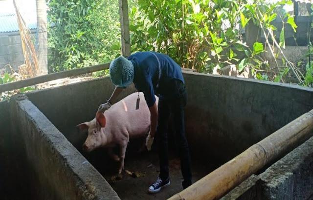 Setelah Ayam, Anggaran Pengadaan Babi Rp 5 M Disoal DPR: Seekor Rp9 Juta?