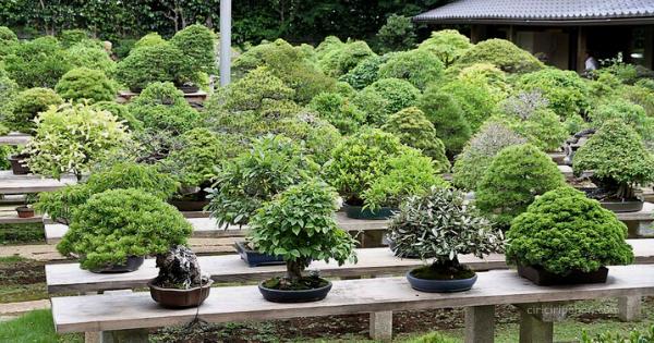 Jenis Jenis Pohon Bonsai