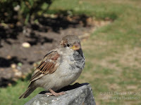 House sparrow, Wellington Botanic Garden, NZ - © Denise Motard