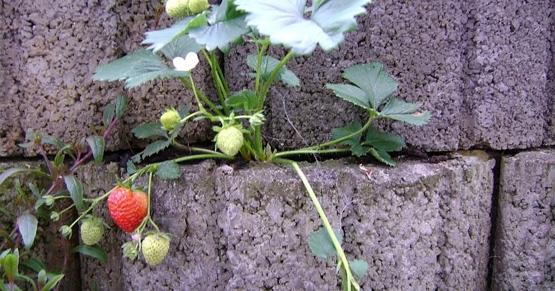 terrassen und balkonbepflanzung erdbeeren und gem se in pflanzringen lohnenswert. Black Bedroom Furniture Sets. Home Design Ideas